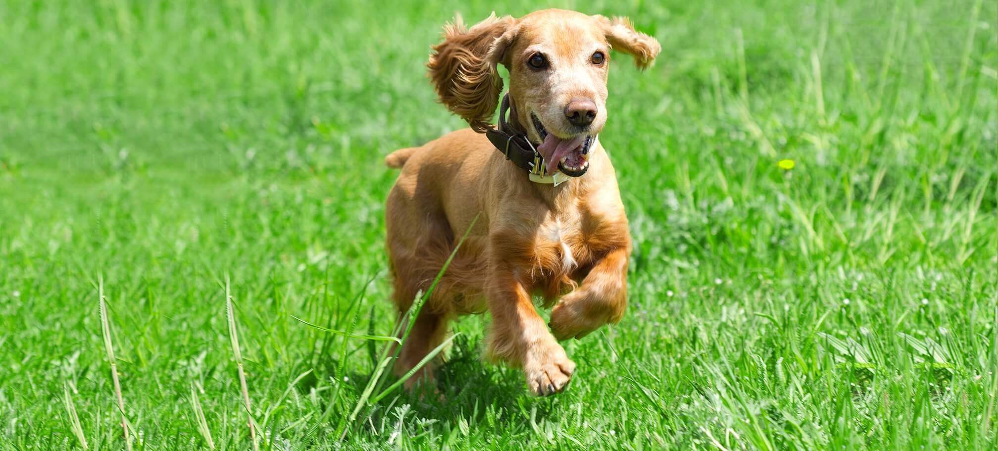Cocker spaniel dog running in field